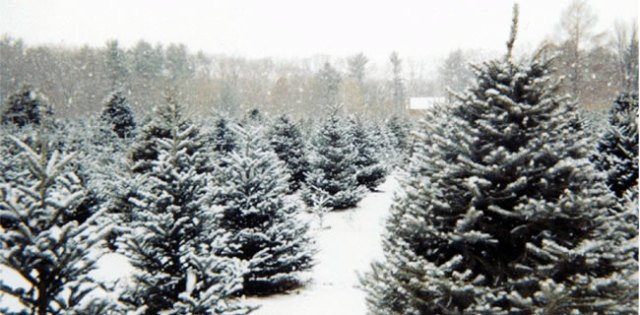 Christmas Tree Farm (Choose and Cut)