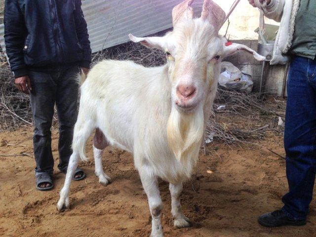 Hermaphrodite goat (NPR)