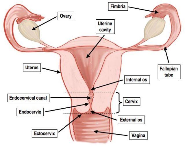 Female reproductive diagram (Pinterest)